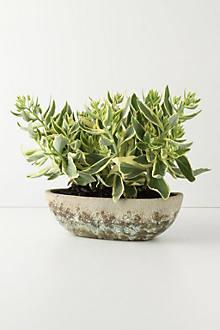 Umbellifers Herb Pot, Large Bowl
